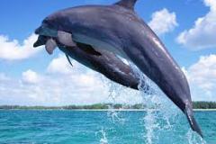dolphine1
